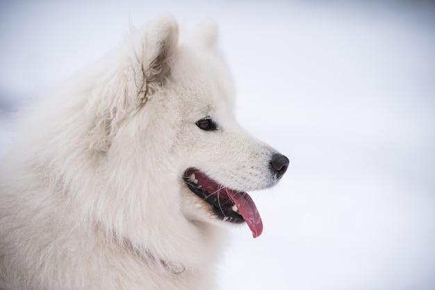 La fine del cane bianco samoiedo è su uno scenario di neve
