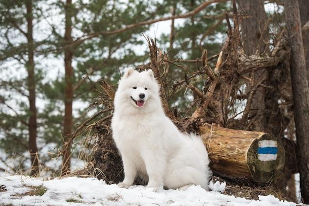Il cane bianco samoiedo sta guardando in lontananza, balta kapa nel baltico