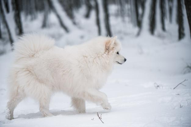 Il cane bianco samoiedo sta correndo sulla neve fuori sullo sfondo invernale