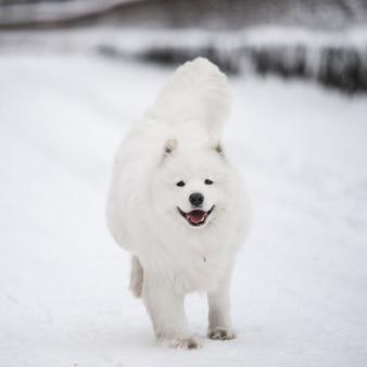 Il cane bianco samoiedo sta correndo sulla neve fuori nel paesaggio invernale