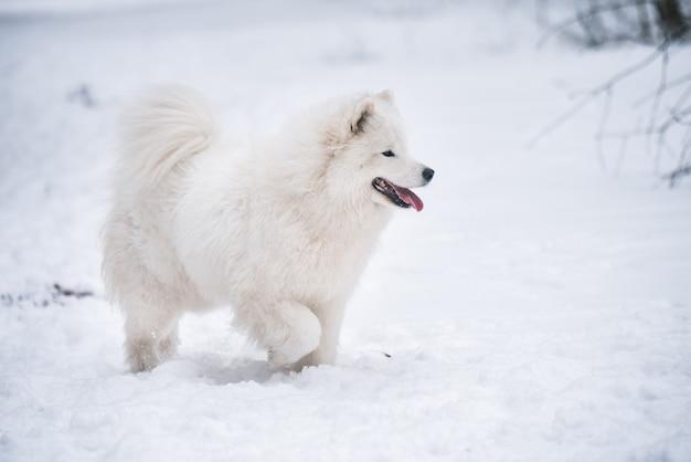 Il cane bianco samoiedo sta correndo sulla neve fuori in inverno