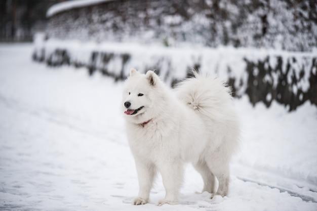 Il cane bianco samoiedo è sulla neve fuori nel paesaggio invernale