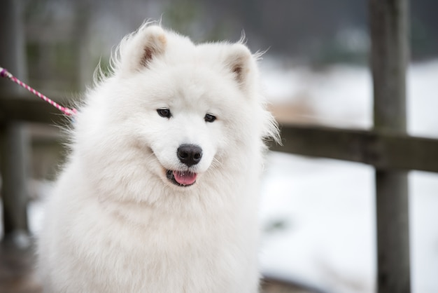 Samoiedo cane bianco museruola vicino al guinzaglio sulla strada innevata balta kapa a saulkrasti, lettonia