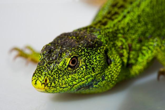 Lucertola di sabbia, lacerta agilis. la lucertola maschio in allevamento di colore verde. macro, piccola profondità di nitidezza.