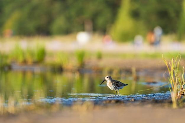 Sandpiper si nutre lungo le rive del mar baltico prima che l'autunno migri verso il sud