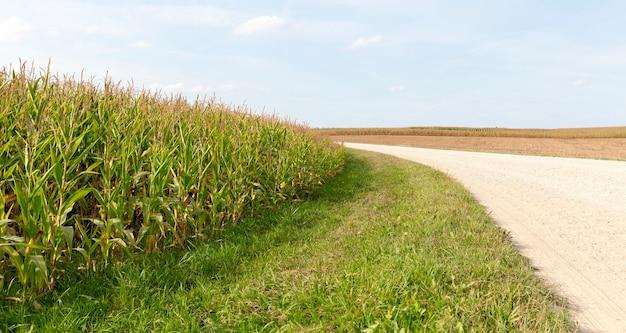 Strada di campagna sabbiosa attraverso campi agricoli, paesaggio estivo e natura estiva, mais dolce verde che cresce sulla sinistra