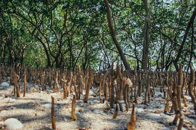Alberello dell'albero mongrove che cresce sulla zona del fango in mare tropicale.