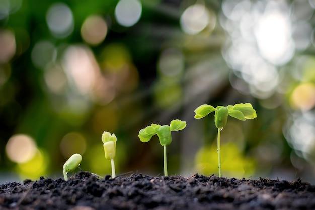 Gli alberelli crescono da un terreno fertile, compresa l'evoluzione della crescita delle piante dai semi agli alberelli. concetto di ecologia e agricoltura.