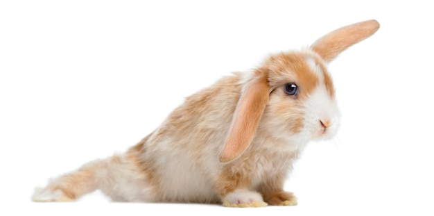 Coniglio satin mini lop in posizione divertente, isolato su bianco