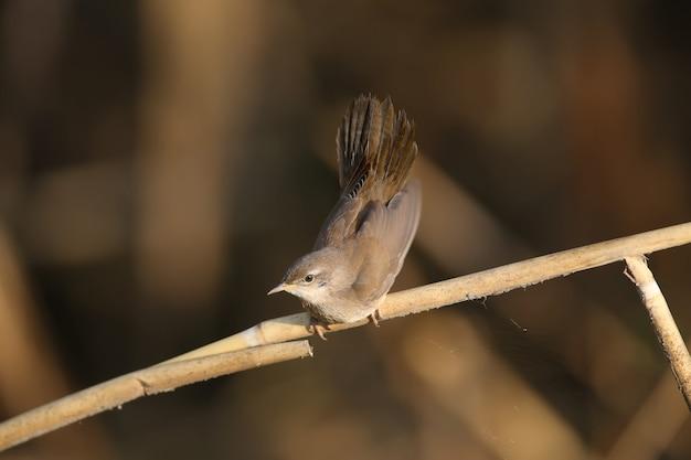 La silvia di savi (locustella luscinioides) nel piumaggio invernale viene ripresa in primo piano nell'habitat naturale in varie pose insolite. l'identificazione è facile.