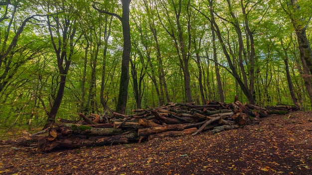 Alberi segati in una foresta verde