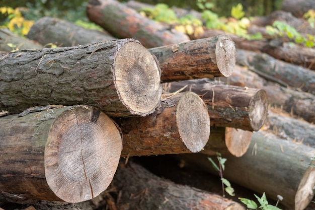 Segati tronchi di alberi di pino di close-up.
