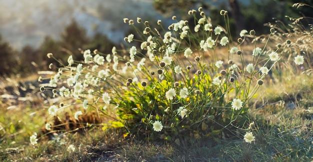 Scabiosa fiori selvatici