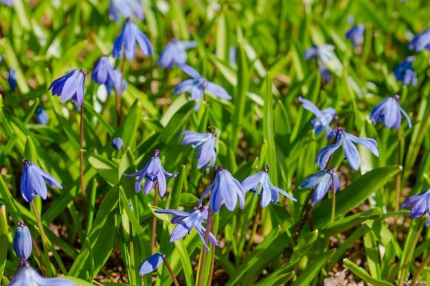 Capesante nell'erba fresca leggera di primavera al sole. scilla