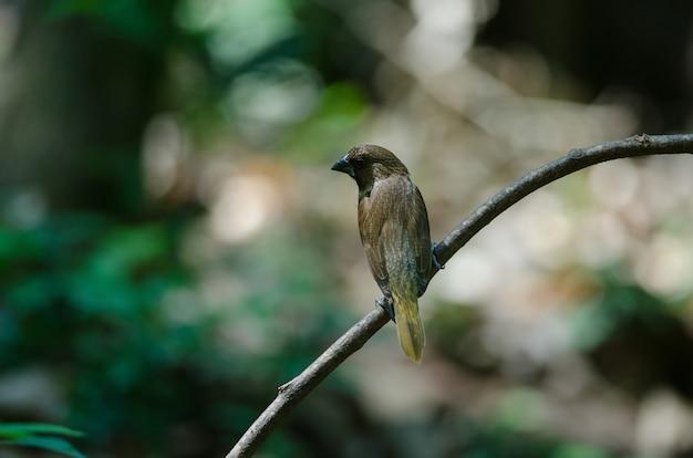 Munia squamoso (lonchura punctulata)