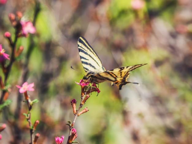 Scarsa farfalla a coda di rondine posata su fiori rosa primaverili selvatici. la farfalla beve il nettare da un fiore.