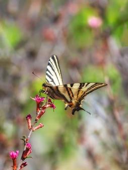 Scarsa farfalla a coda di rondine posata su fiori rosa primaverili selvatici. vista verticale. la farfalla beve il nettare da un fiore.