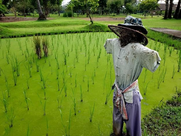 Spaventapasseri nel campo di riso verde trapiantato