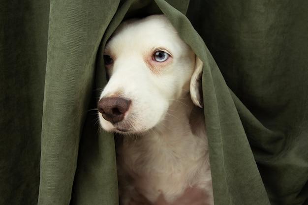Cucciolo di cane spaventato o impaurito per fuochi d'artificio, temporali o rumori forti si nasconde sotto una tenda.