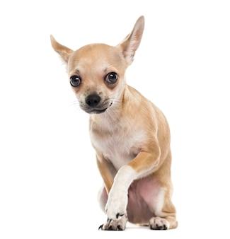 Chihuahua spaventato davanti a un muro bianco