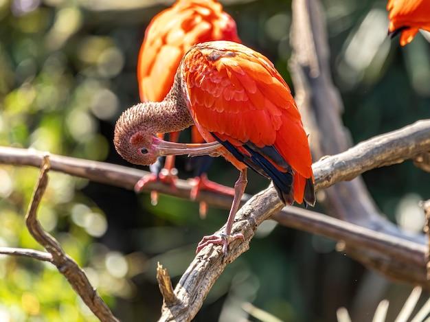 Scarlet ibis o eudocimus ruber rosso uccello della famiglia threskiornithidae.