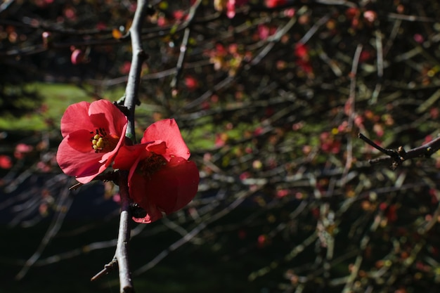 La cotogna giapponese scarlatta o il color scarlatto del texas fiorisce contro un fondo vago