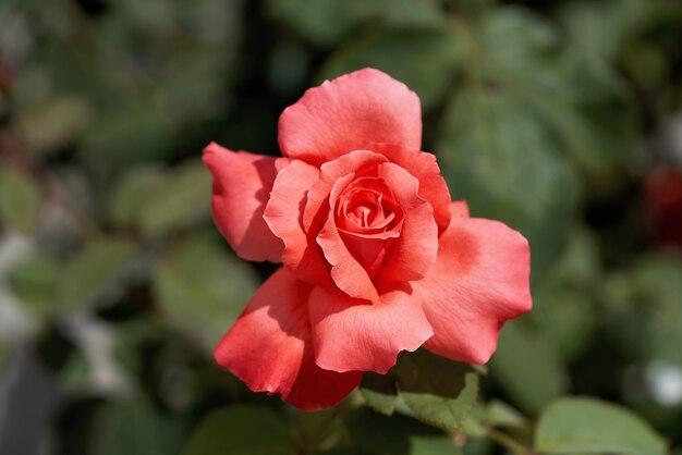 Fiore di rosa scarlatto sopra il primo piano delle foglie verdi