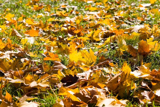 Sparsi sul terreno secche foglie ingiallite di alberi nella stagione autunnale, vera fauna selvatica durante le stagioni