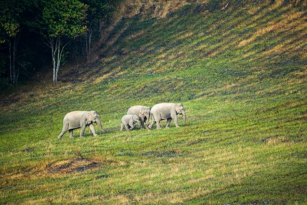Scena della famiglia di elefanti al parco nazionale di khao yai, thailandia