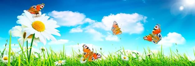 Sfondo del paesaggio del fiore e delle farfalle di camomilla in fiore naturale.