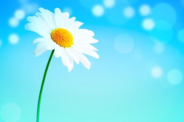 Sfondo del paesaggio del fiore di camomilla in fiore naturale.