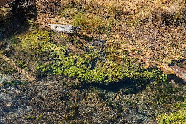 Paesaggio autunnale panoramico con acqua limpida del ruscello di montagna con piante verdi e foglie cadute gialle nell'erba. flora subacquea sul fondo del bellissimo torrente di montagna con superficie dell'acqua trasparente.