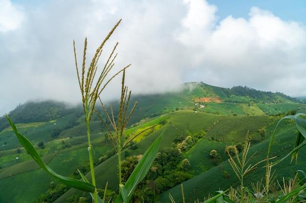 Paesaggio panoramico del campo agricolo con mais e nebbia sulla collina in thailandia