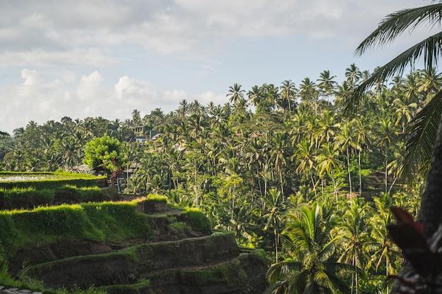 Paesaggio panoramico di palme che si trovano sullo sfondo, risaie esotiche in una giornata di sole