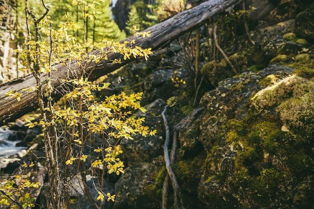Paesaggio montano panoramico con foglie gialle su un piccolo albero nella foresta autunnale sotto il sole dorato. paesaggio alpino colorato con flora selvaggia delle montagne in colori autunnali. albero giallo vicino alle rocce con muschio.