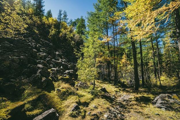 Paesaggio montano panoramico con alberi gialli nella foresta autunnale sotto il sole dorato. colorato paesaggio alpino soleggiato con flora selvaggia delle montagne in colori autunnali. foglie d'oro alla luce del sole nella foresta di montagna