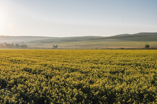 Scenic paesaggio rurale con campo di colza, colza o colza giallo. la fioritura dei fiori di canola si chiuda