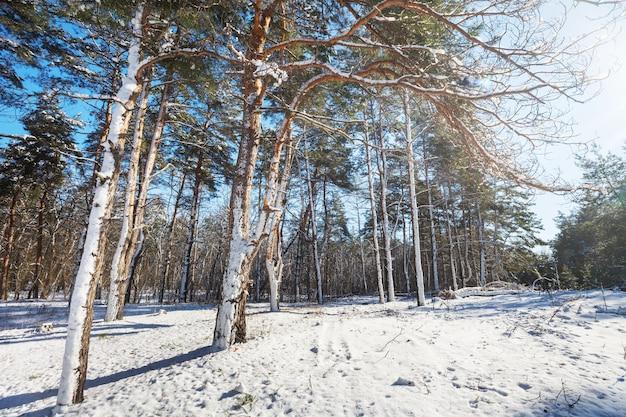 Scenic foresta innevata nella stagione invernale.
