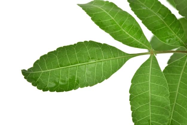Schinus terebinthifolia foglie verdi isolate su sfondo bianco.vista dall'alto,piatta.