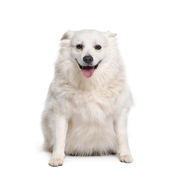 Schipperke, 7 anni, seduto. ritratto di cane isolato