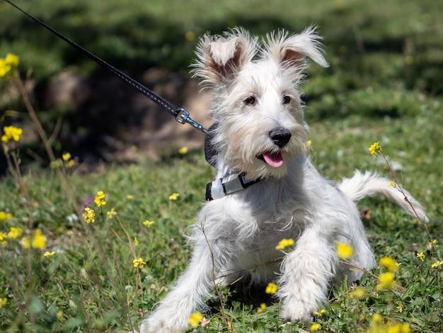 Cucciolo di schnauzer in bianco, guardando attentamente i fiori gialli intorno a lui