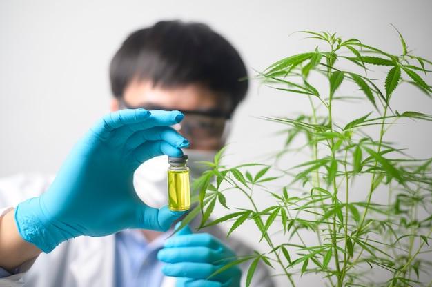 Uno scienziato sta controllando e analizzando un esperimento di cannabis sativa, pianta di canapa per olio di cbd farmaceutico a base di erbe in un laboratorio