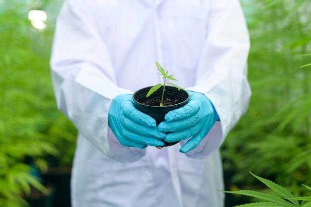 Uno scienziato sta tenendo piantine di cannabis in una fattoria legalizzata.