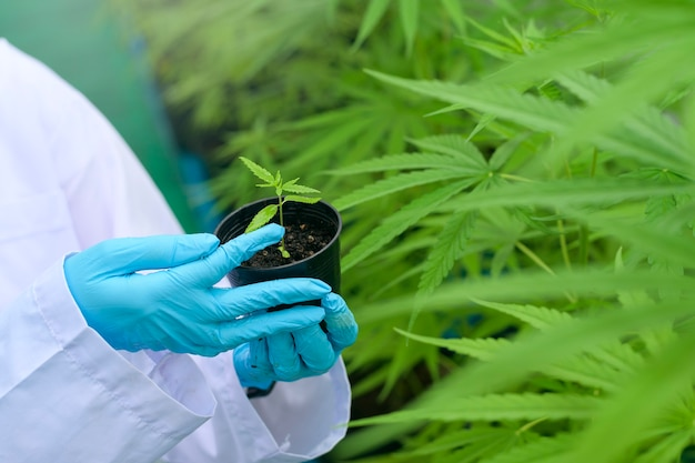 Uno scienziato tiene piantine di cannabis in una fattoria legalizzata.