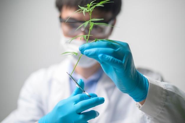 Uno scienziato sta riducendo la cannabis sativa alla pianificazione