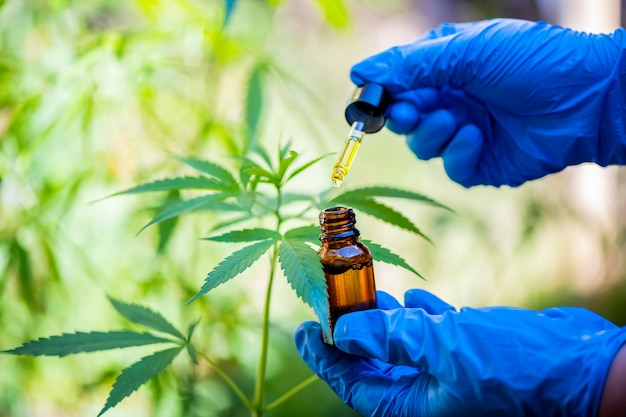 Gli scienziati indossano guanti per esaminare gli alberi di cannabis concetti di medicina alternativa, cbd, industria farmaceutica