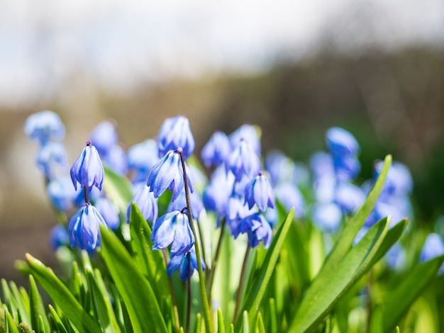 Scilla siberica sotto il sole splendente, primo piano. fiori blu brillante di scilla siberiana.