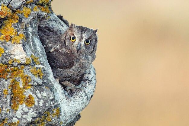 Scops owl guardando fuori dal nesthole. otus scops.