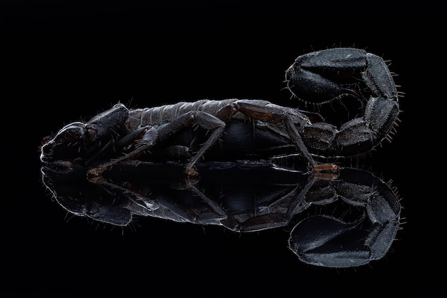 Scorpion fotografia macro corpo pieno