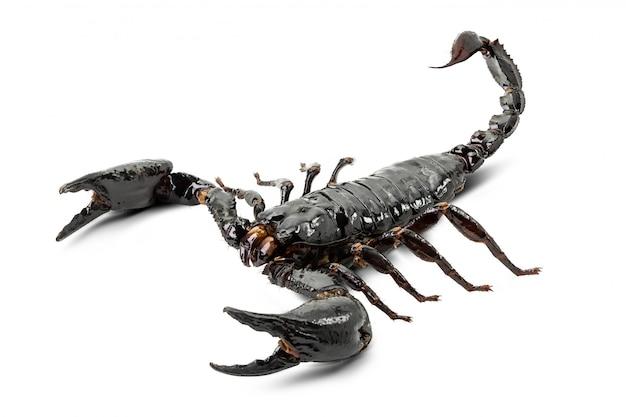 Scorpione isolato